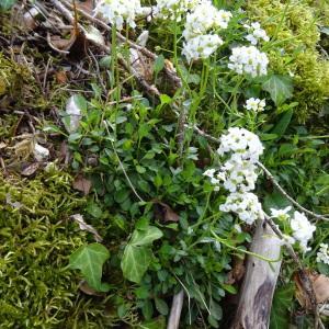 Photographie n°750308 du taxon Noccaea montana subsp. montana