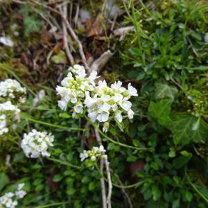 Photographie n°750309 du taxon Noccaea montana subsp. montana