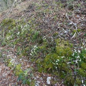 Photographie n°750310 du taxon Noccaea montana subsp. montana