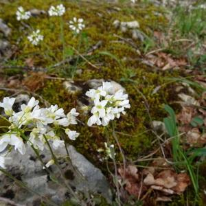 Photographie n°750311 du taxon Noccaea montana subsp. montana