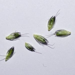 Photographie n°751072 du taxon Alopecurus pratensis L.