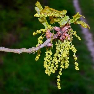 Photographie n°751084 du taxon Quercus robur L. [1753]