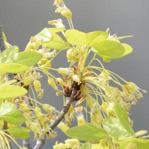 Photographie n°751507 du taxon Acer monspessulanum L. [1753]