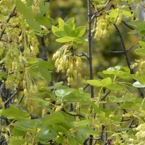 Photographie n°751508 du taxon Acer monspessulanum L. [1753]