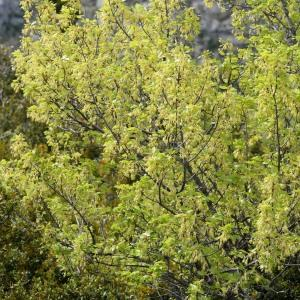 Photographie n°751509 du taxon Acer monspessulanum L. [1753]