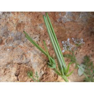 Scandix pecten-veneris L. subsp. pecten-veneris (Peigne-de-Vénus)