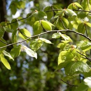 Photographie n°752912 du taxon Fagus sylvatica L.