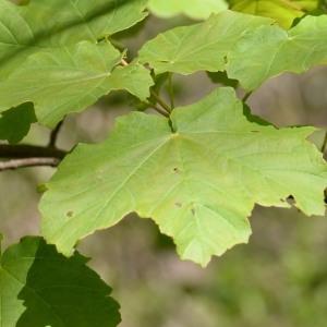 Photographie n°752913 du taxon Acer pseudoplatanus L.