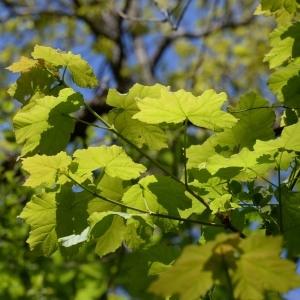 Photographie n°752914 du taxon Acer pseudoplatanus L.