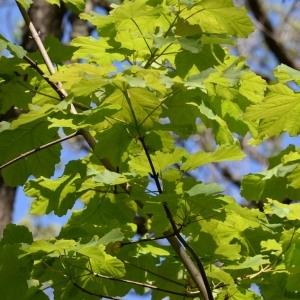 Photographie n°752915 du taxon Acer pseudoplatanus L.