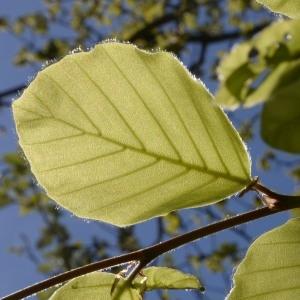 Photographie n°753023 du taxon Fagus sylvatica L.