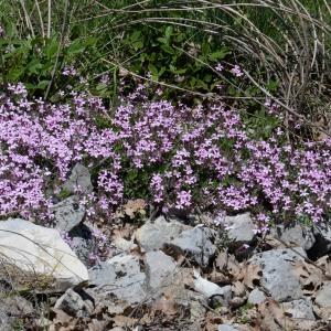 Photographie n°753062 du taxon Saponaria ocymoides L.