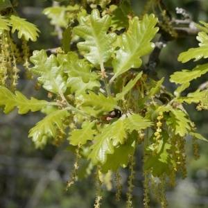Photographie n°753071 du taxon Quercus pubescens Willd. [1805]