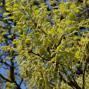 Photographie n°753073 du taxon Quercus pubescens Willd. [1805]