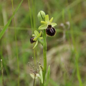 Photographie n°753426 du taxon Ophrys aranifera Huds. [1778]