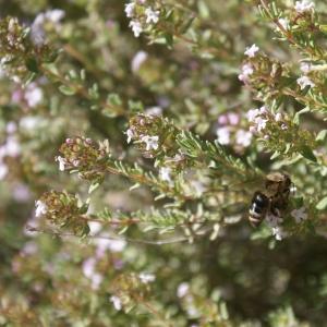 Photographie n°753799 du taxon Thymus L.