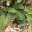 Liliane Roubaudi - Hieracium glaucinum Jord. [1848]