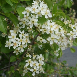 Photographie n°753877 du taxon Prunus mahaleb L.