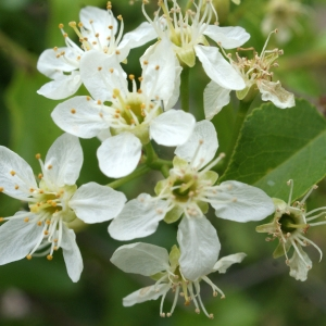 Photographie n°753878 du taxon Prunus mahaleb L.