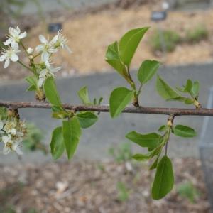 Photographie n°753881 du taxon Prunus mahaleb L.