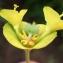 Liliane Roubaudi - Euphorbia characias subsp. wulfenii (Hoppe ex W.D.J.Koch) A.R.Sm. [1968]