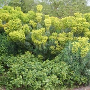 Photographie n°753888 du taxon Euphorbia characias subsp. wulfenii (Hoppe ex W.D.J.Koch) A.R.Sm. [1968]