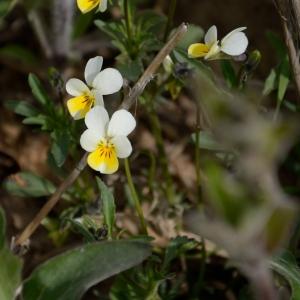 Photographie n°754126 du taxon Viola arvensis Murray [1770]