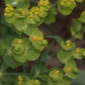 Photographie n°754376 du taxon Euphorbia serrata L. [1753]