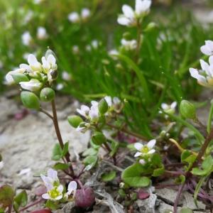 Cochlearia sp.