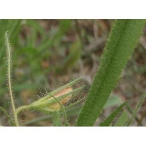 Ononis breviflora DC. (Bugrane à fleurs courtes)