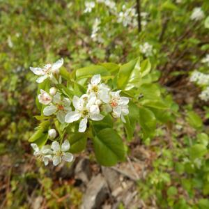 Photographie n°754632 du taxon Prunus mahaleb L.