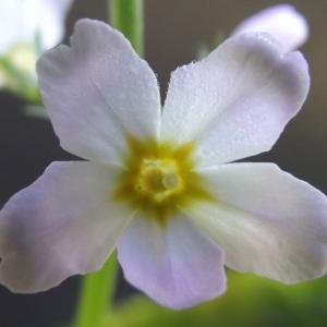 Photographie n°754664 du taxon Hottonia palustris L. [1753]