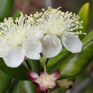 - Myrtus communis L. [1753]