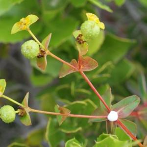 Euphorbia clementei Boiss.