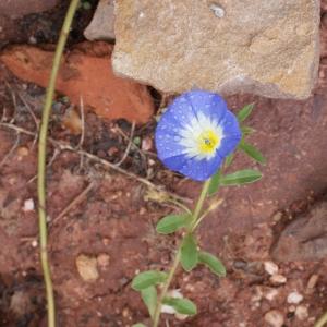 Photographie n°754941 du taxon Convolvulus tricolor L.