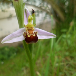 Photographie n°755119 du taxon Ophrys apifera Huds. [1762]