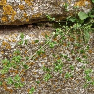 Photographie n°755309 du taxon Arenaria serpyllifolia L. [1753]