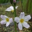 Jean-Claude Echardour - Hottonia palustris L.