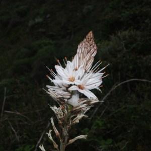 Photographie n°755472 du taxon Asphodelus ramosus L. [1753]