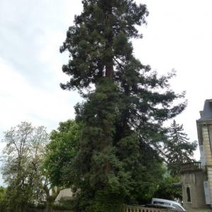 Photographie n°755573 du taxon Séquoia à feuilles d'if
