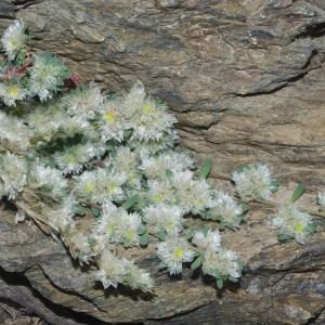 Photographie n°755750 du taxon Paronychia polygonifolia (Vill.) DC. [1805]