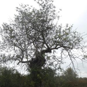 Photographie n°755893 du taxon Ceratonia siliqua L.