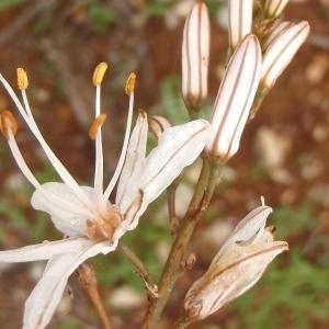 Photographie n°756006 du taxon Asphodelus ramosus L. [1753]