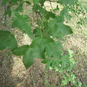 Photographie n°756209 du taxon Acer monspessulanum L. [1753]
