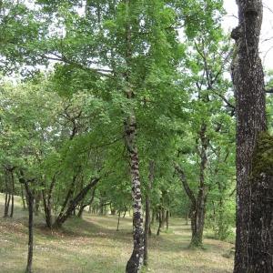Photographie n°756210 du taxon Acer monspessulanum L. [1753]