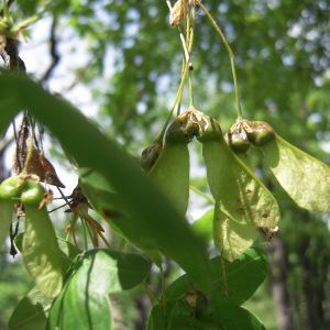 Photographie n°756211 du taxon Acer monspessulanum L. [1753]