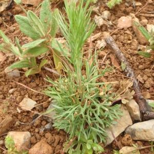Photographie n°756492 du taxon Delphinium L. [1753]