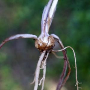Photographie n°756671 du taxon Ranunculus bulbosus L. [1753]