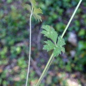 Photographie n°756676 du taxon Ranunculus bulbosus L. [1753]