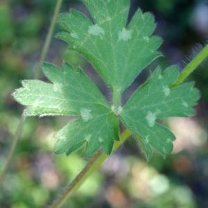 Photographie n°756677 du taxon Ranunculus bulbosus L. [1753]